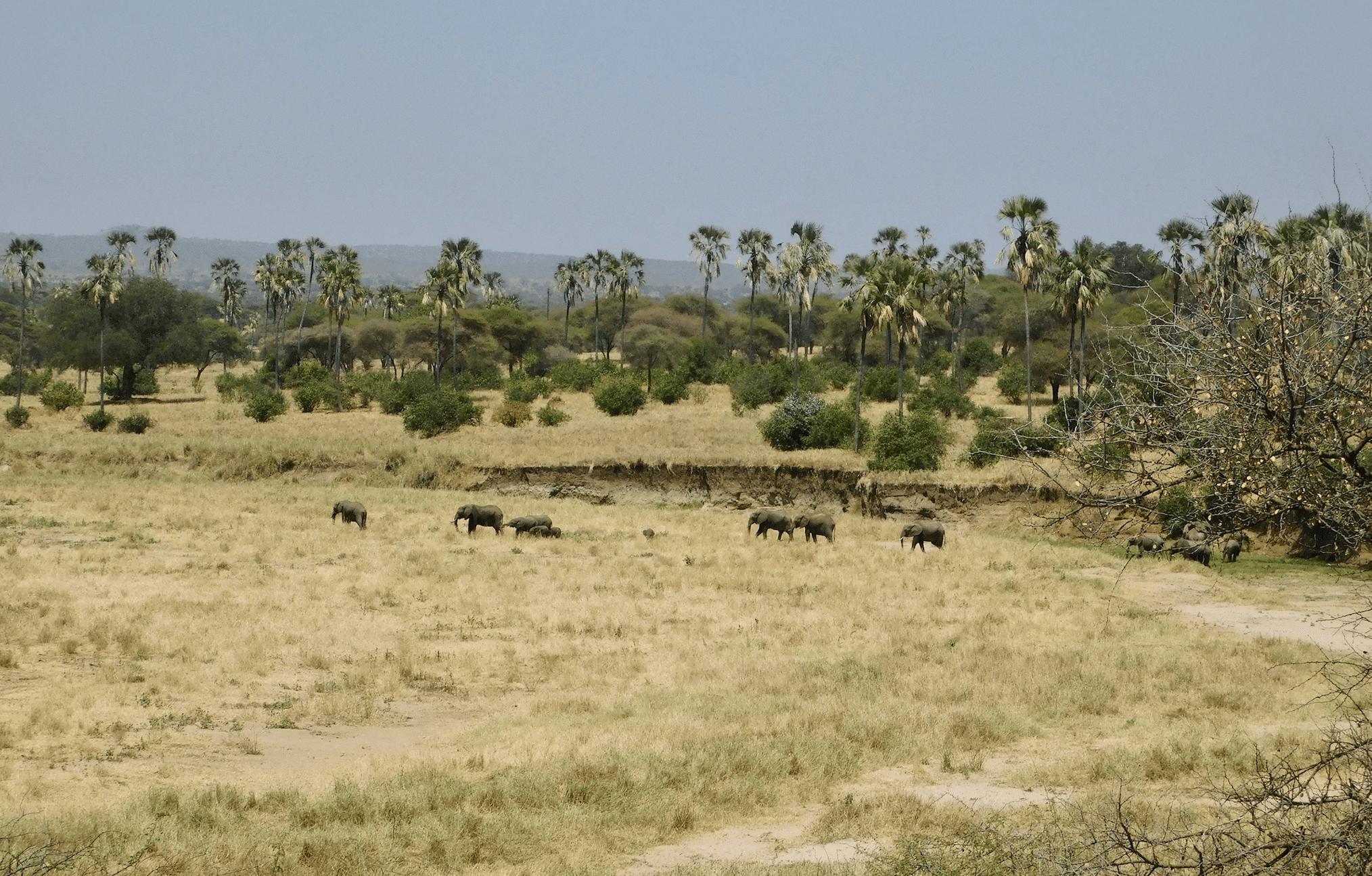un troupeau d'elephants dans le parc de tarangire