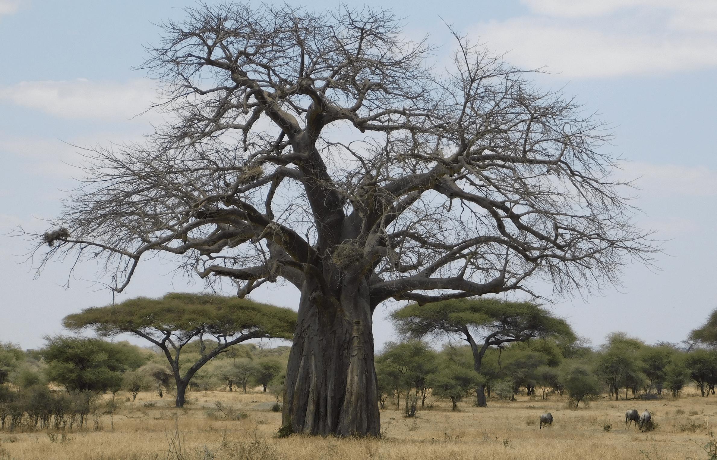 le baobab, l'arbre symbolique du tarangire
