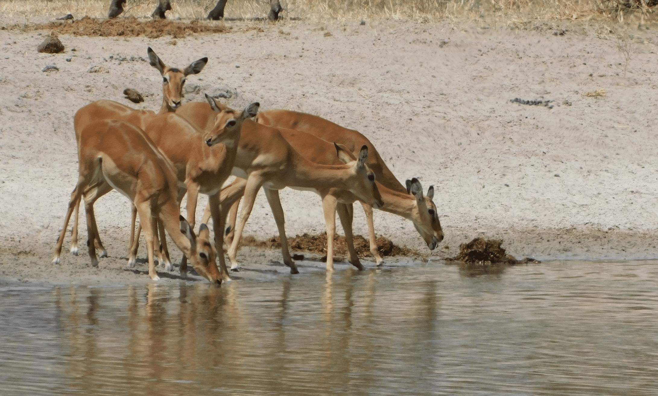 des gazelles dans le parc de tarangire