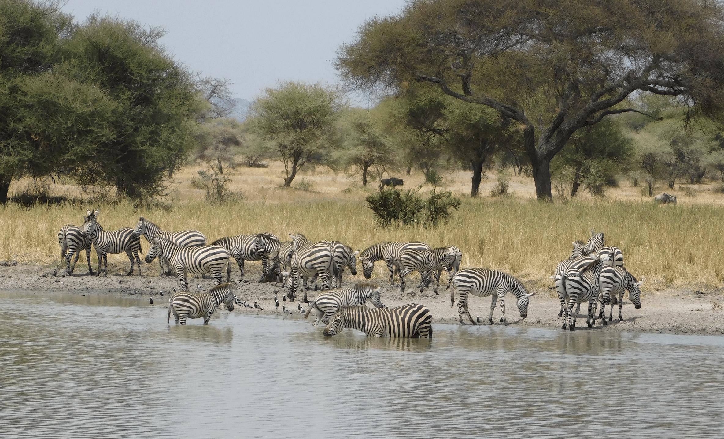 des zebres dans le parc de tarangire
