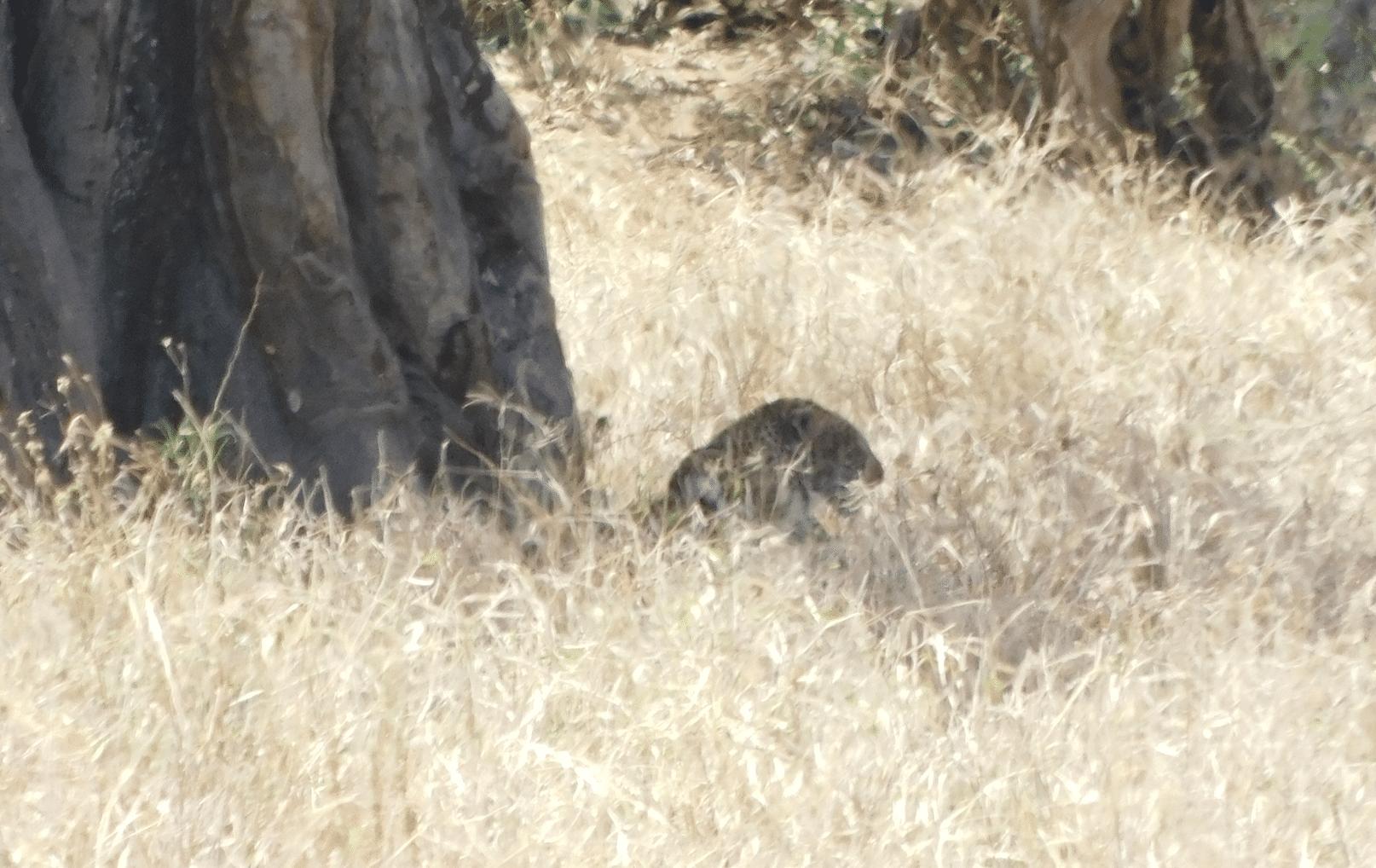 un leopard dans le parc de tarangire