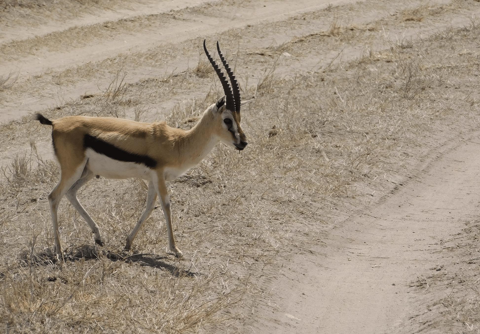 un jeune antilope au serengeti