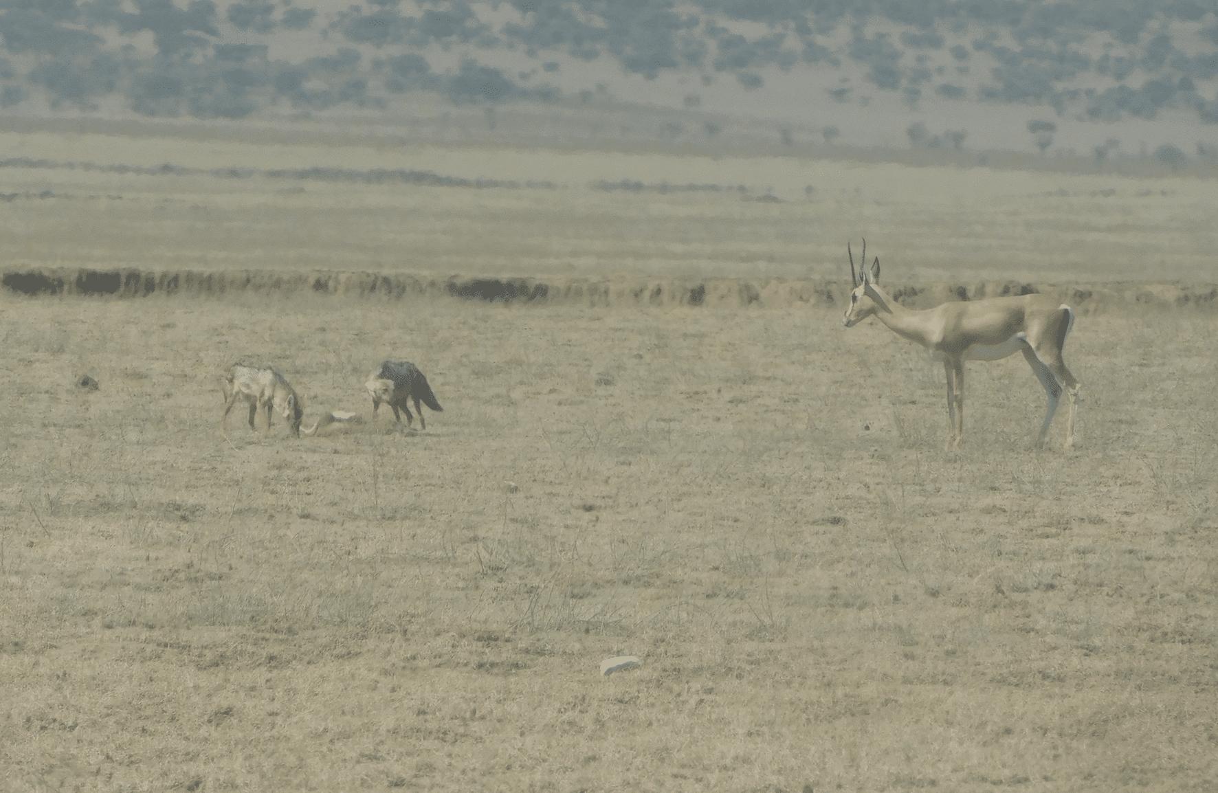 scene de chasse au serengeti
