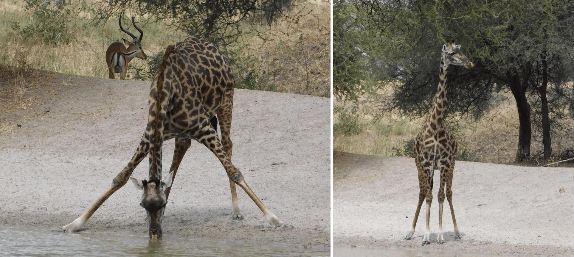 une girafe dans le parc de tarangire
