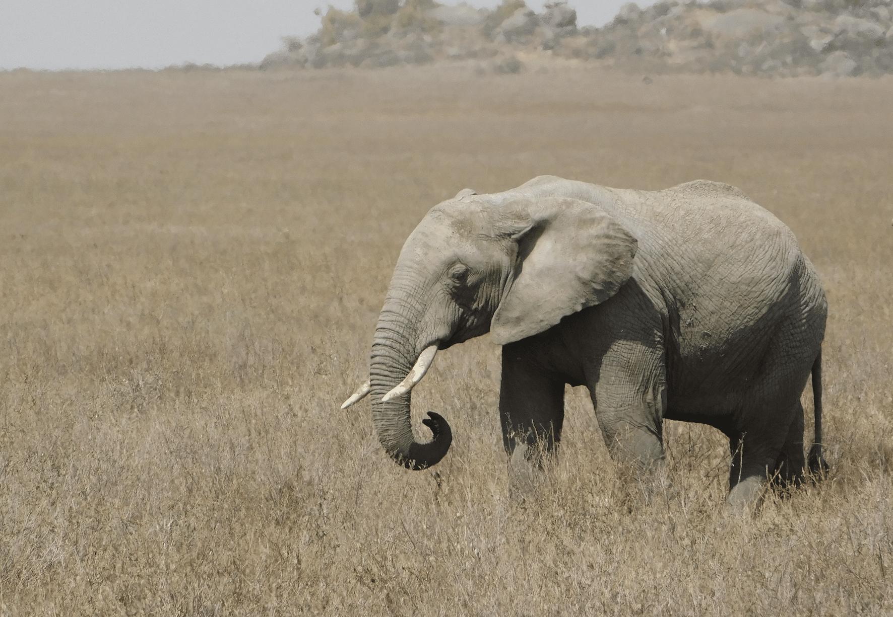 un elephant au serengeti