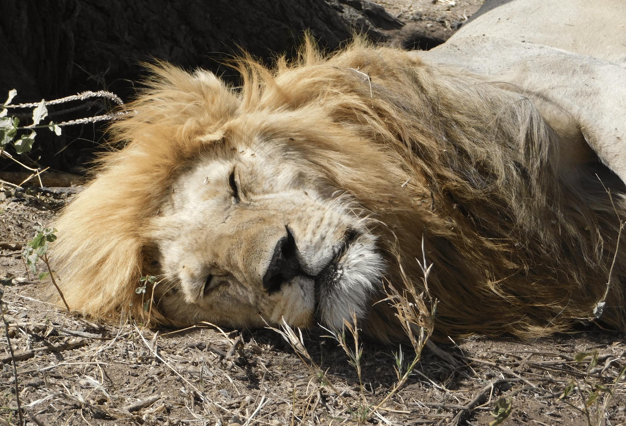 un lion dort au serengeti