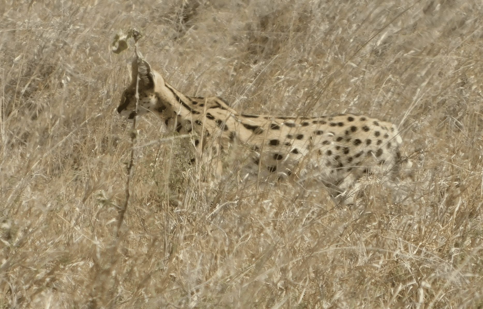 un serval dans le parc du serengeti