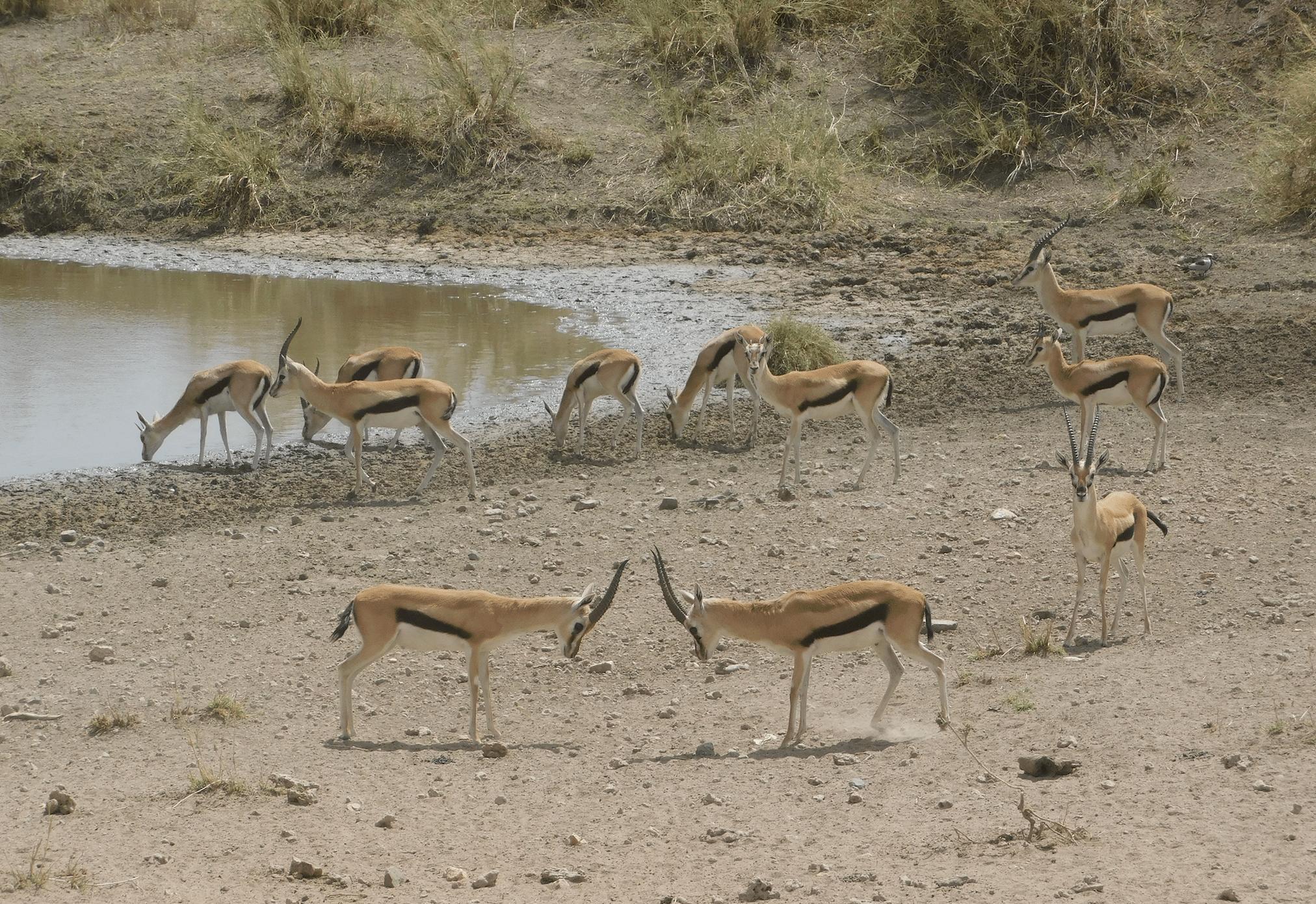 des gazelles dans le parc du serengeti