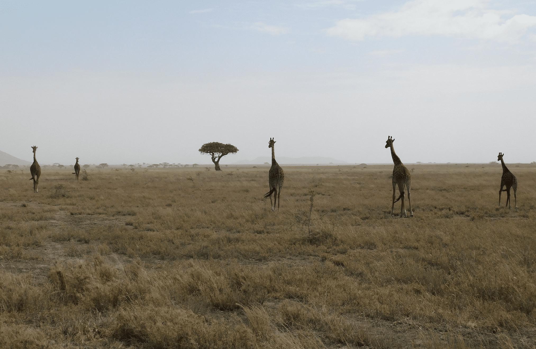 des girafes dans le parc du serengeti