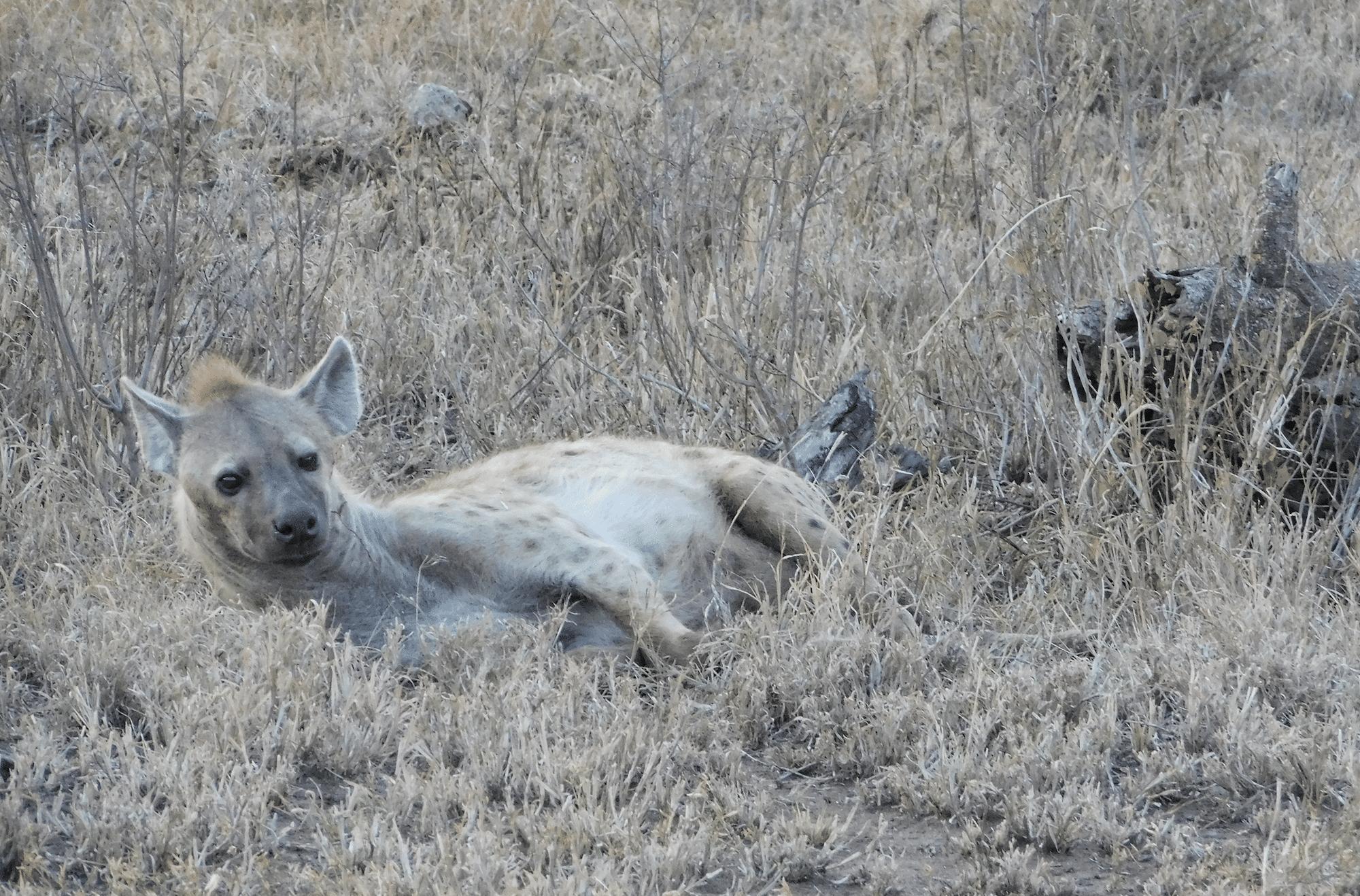 une hyiene dans le parc du serengeti