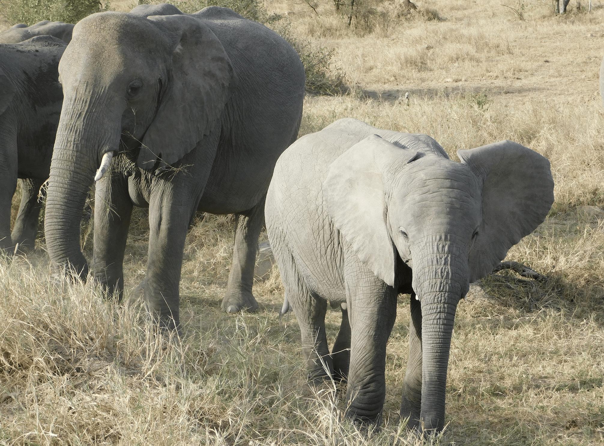 un elephanteau dans le parc national du serengeti