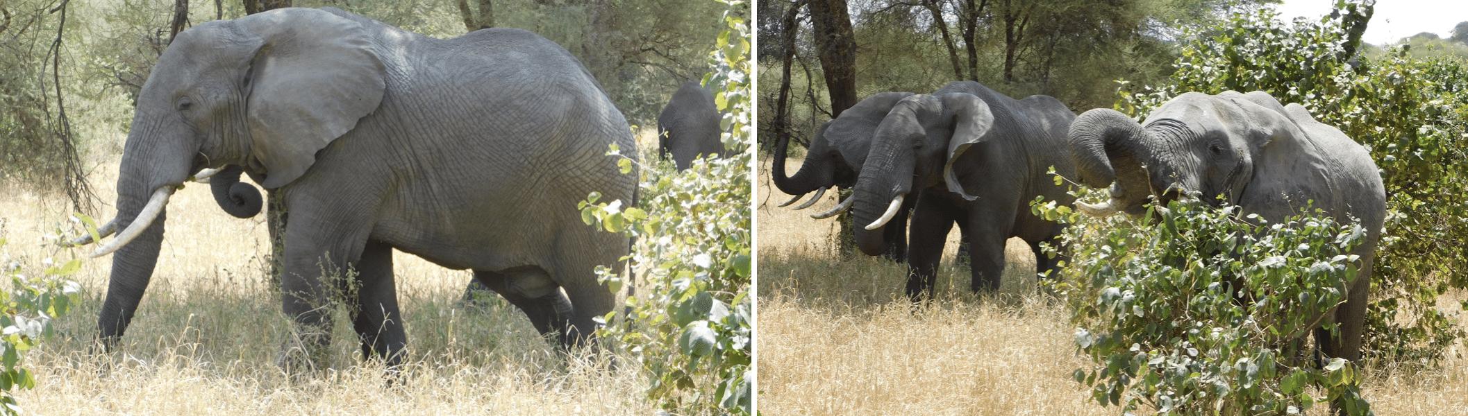 des elephants dans le parc de tarangire