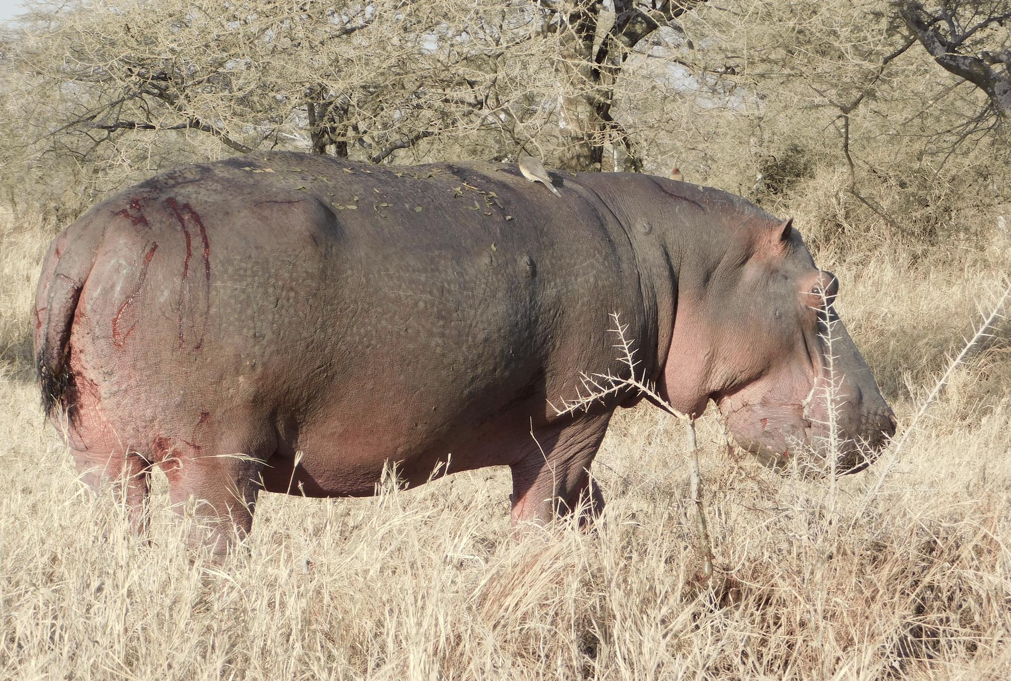 un hippopotame dans le parc du serengeti