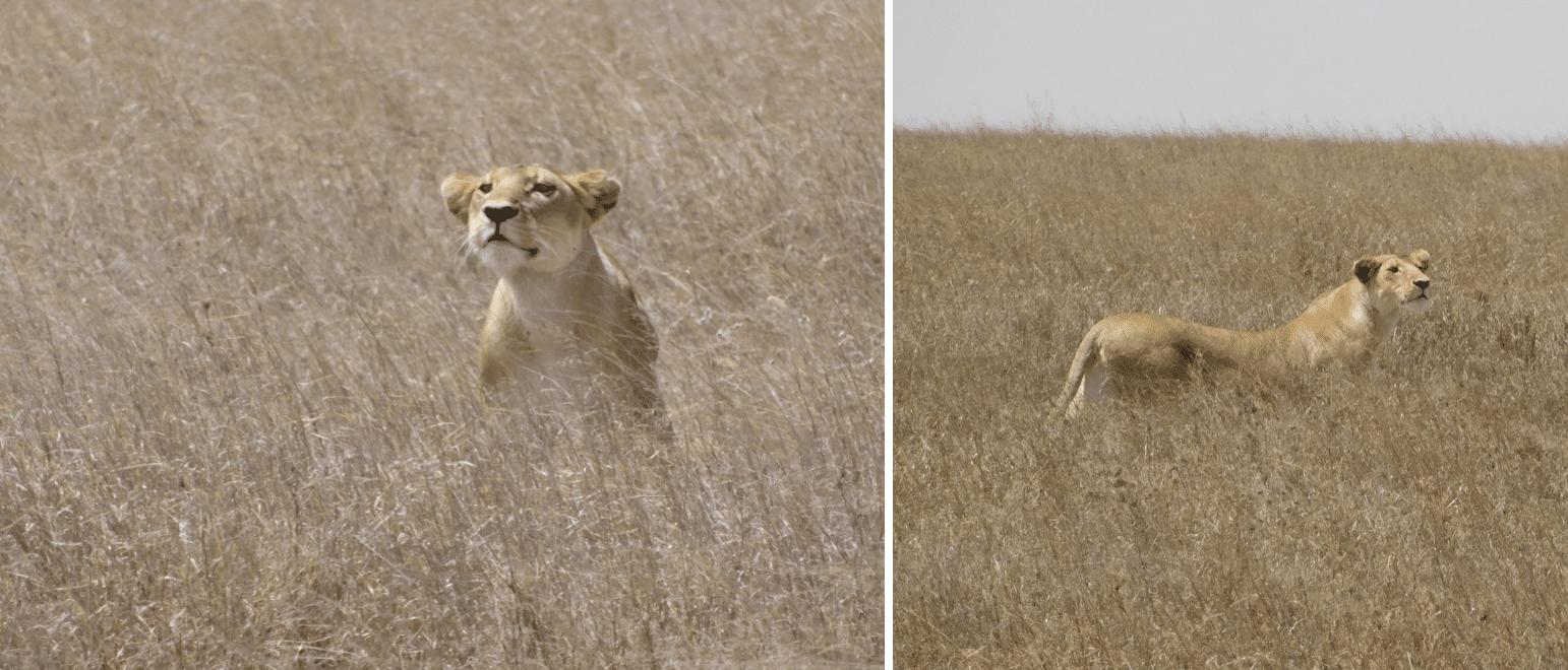 des lionnes au serengeti