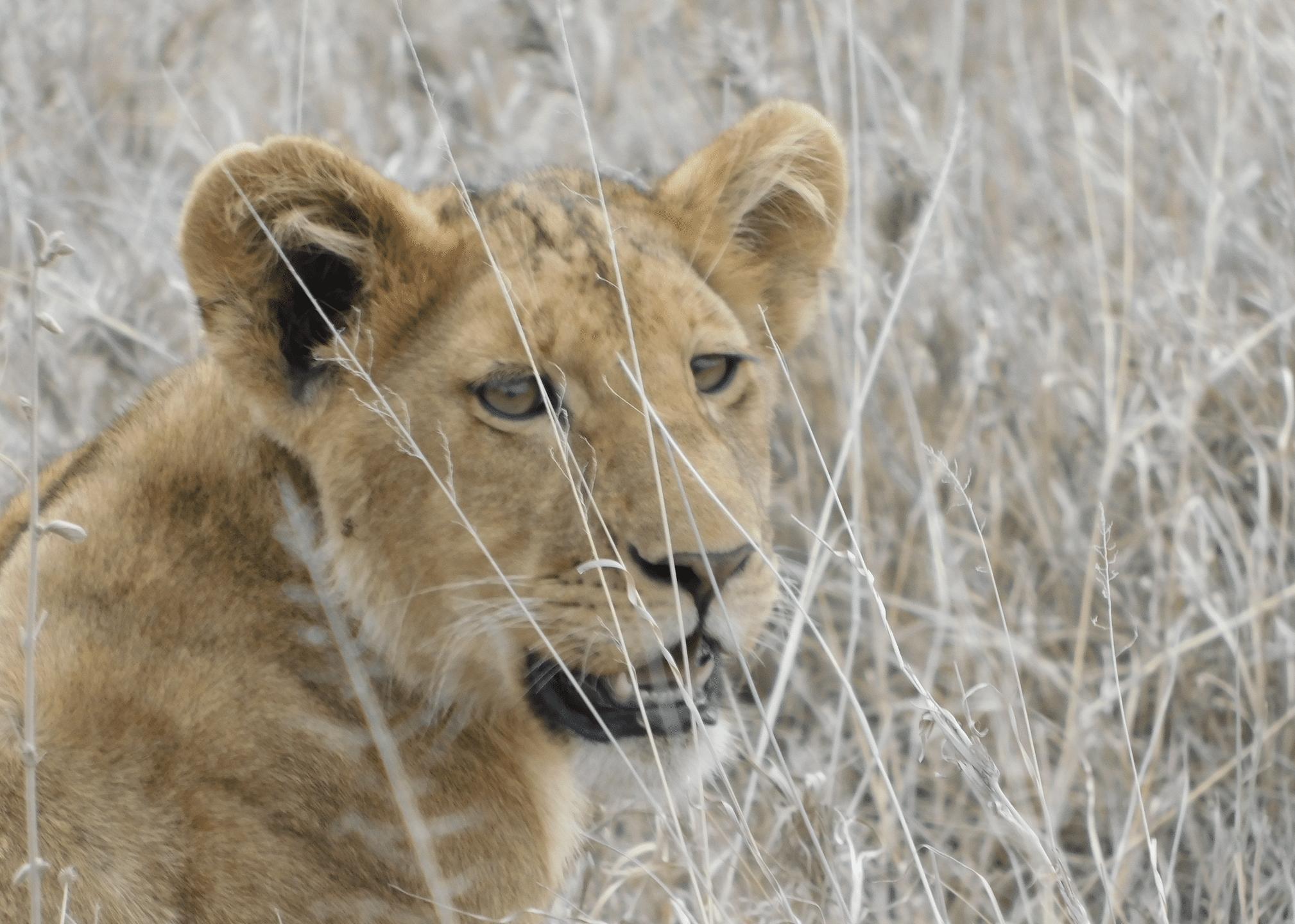un lionceau dans le parc du serengeti