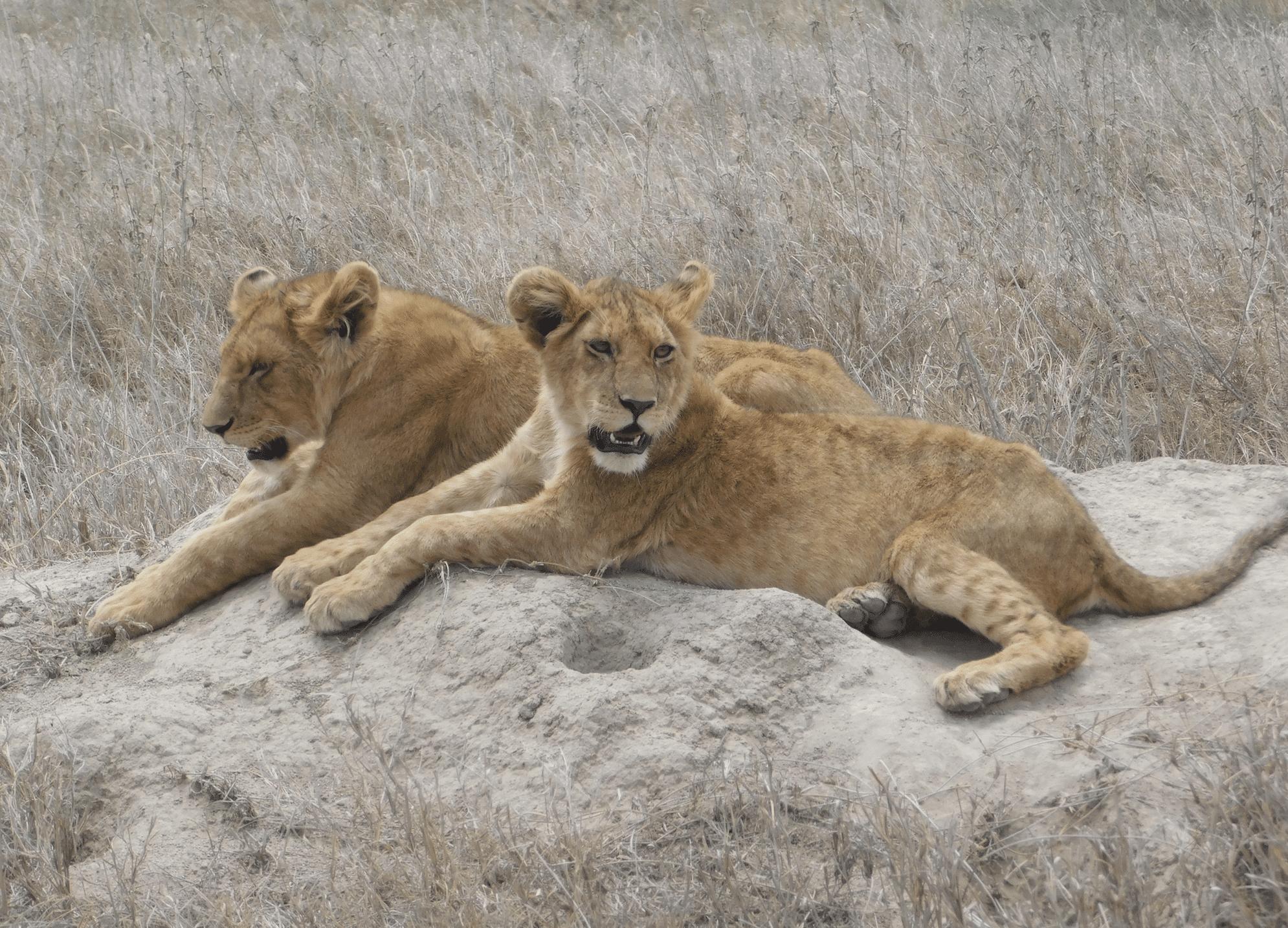 des lionceaux dans le parc du serengeti