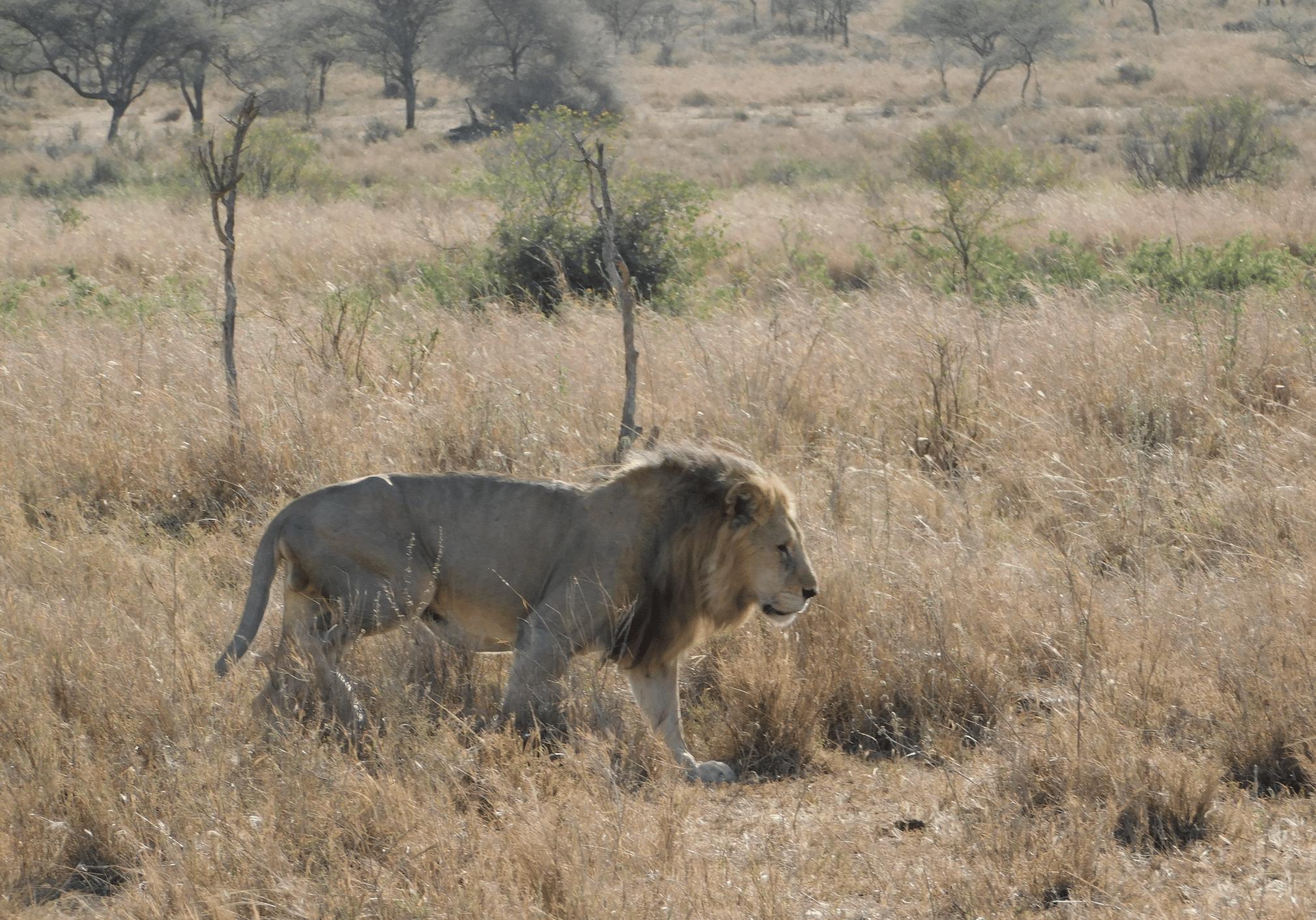 un lion dans le parc du serengeti