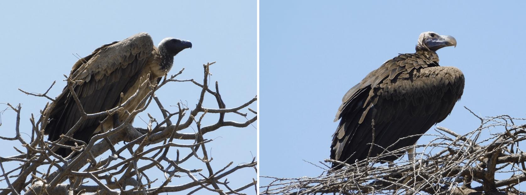 des aigles dans le parc de tarangire