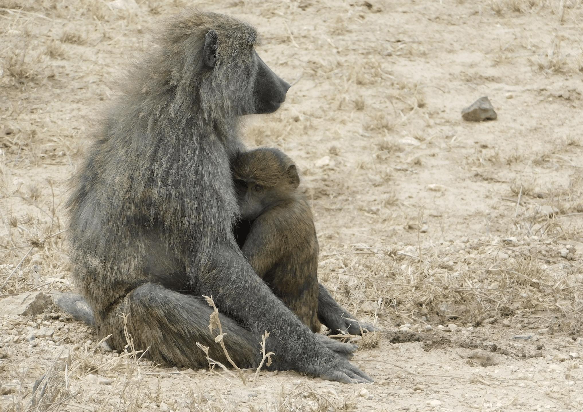 des babouins dans le parc du serengeti
