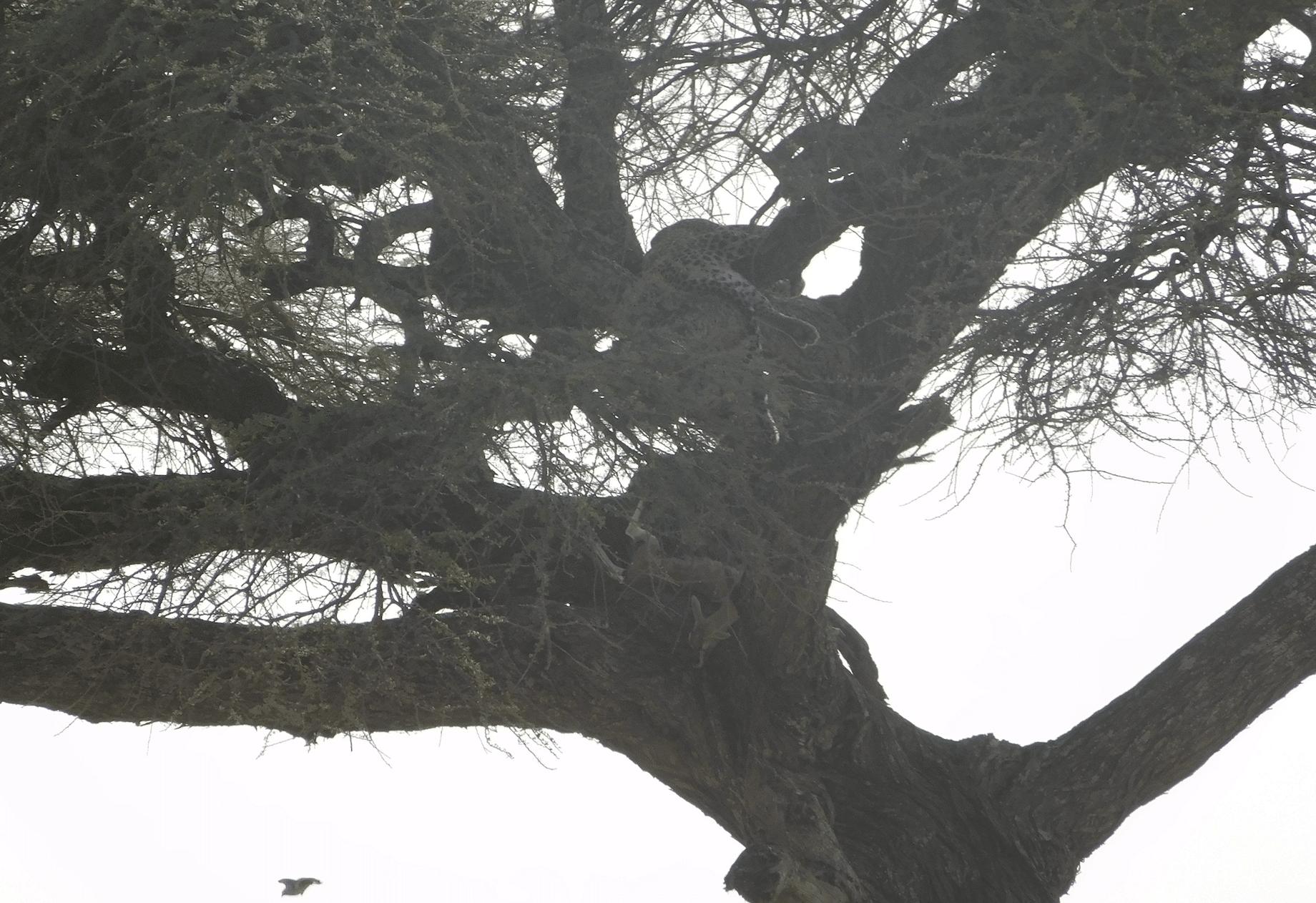 un leopard au serengeti
