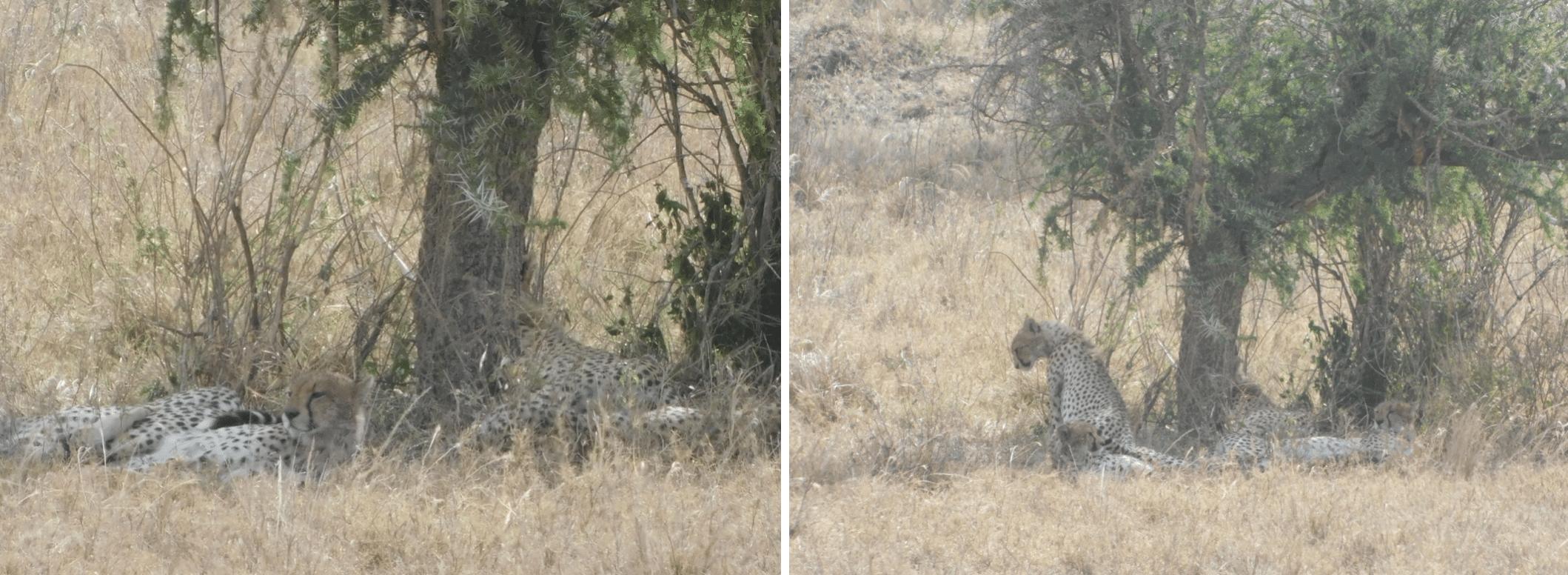 des guepards dans le parc du serengeti