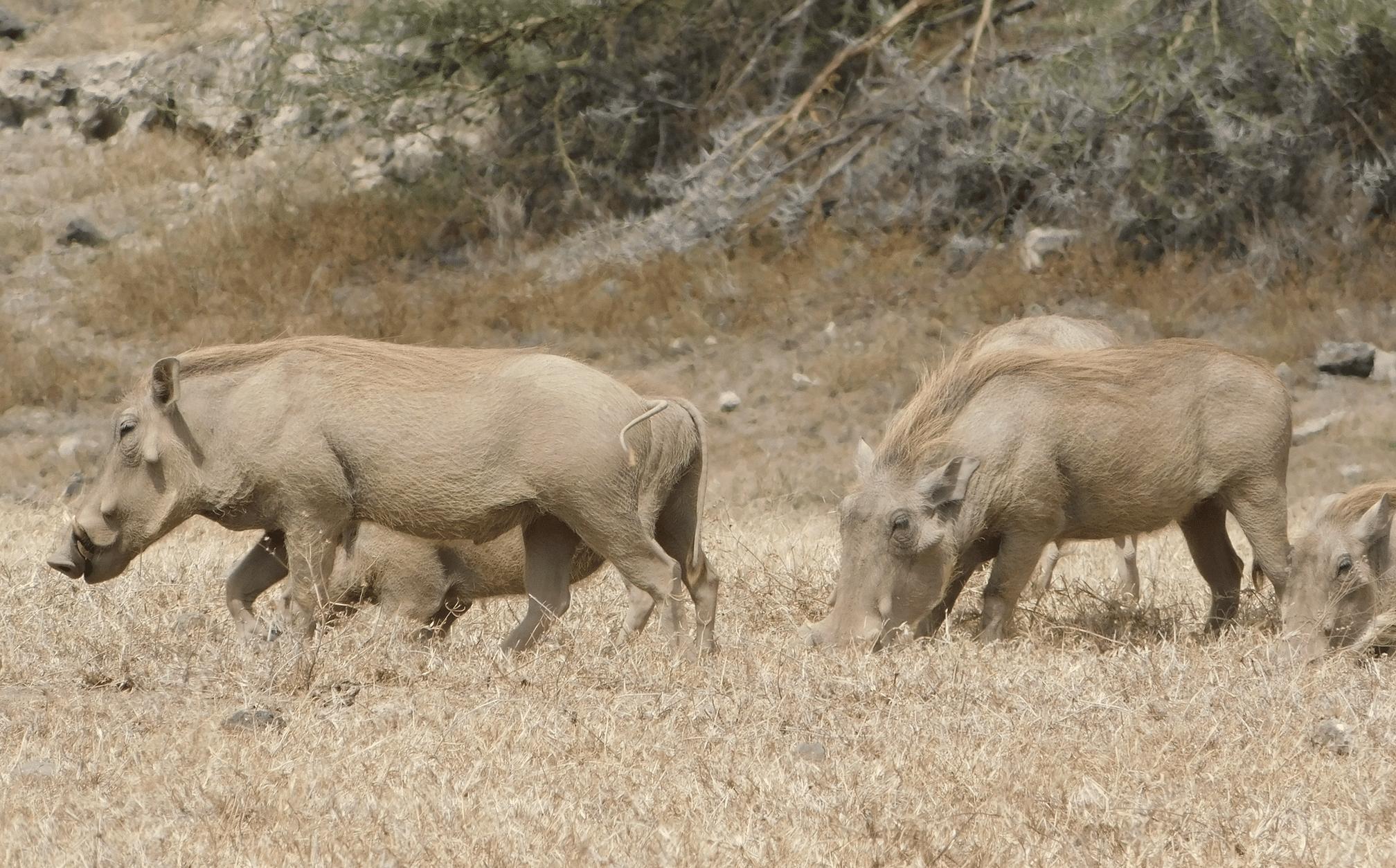 des phacocheres dans le cratere du ngorongoro