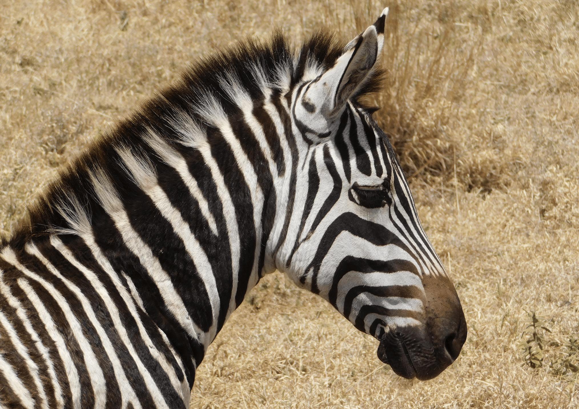 un zebre dans le cratere du ngorongoro
