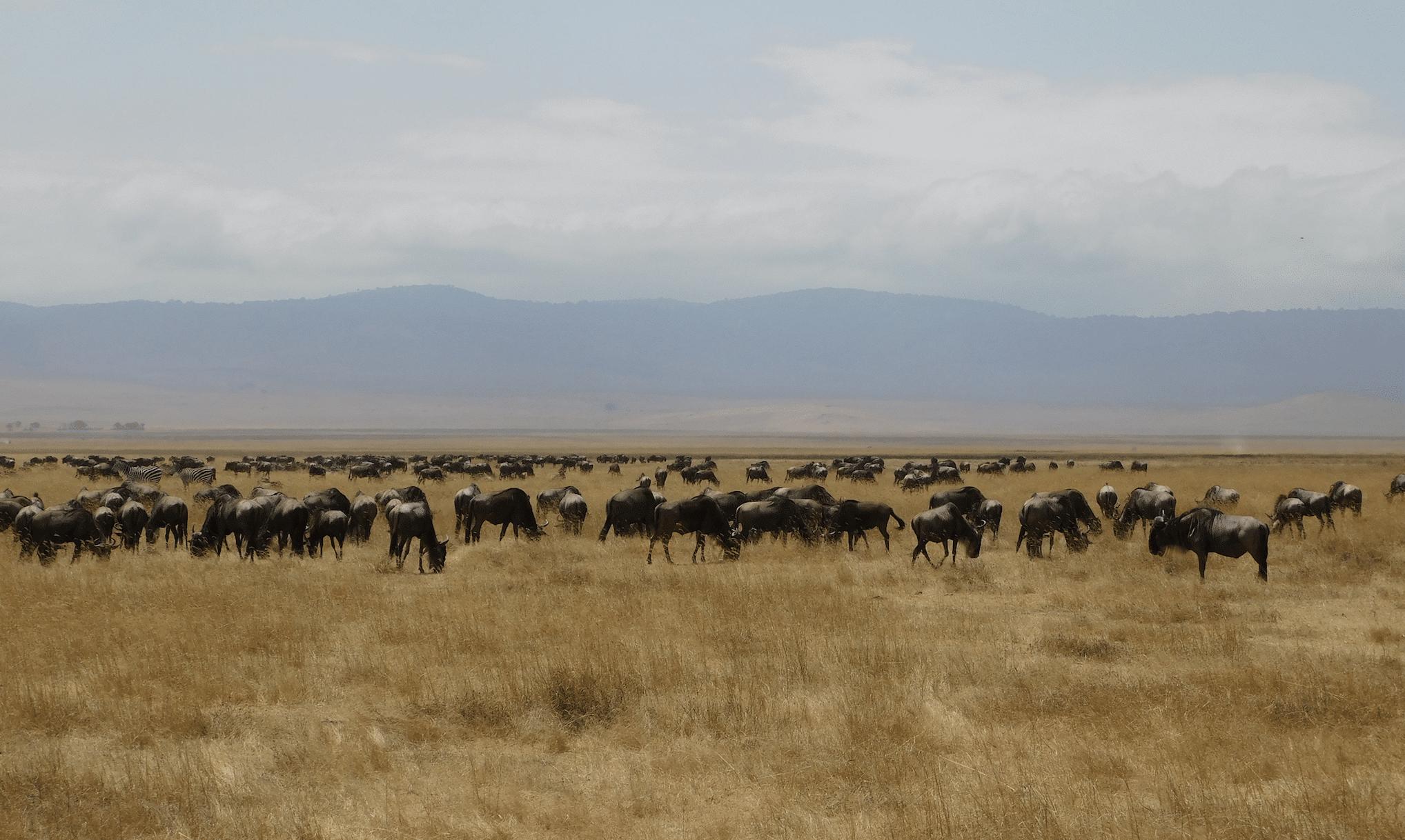 des gnous dans le cratere du ngorongoro