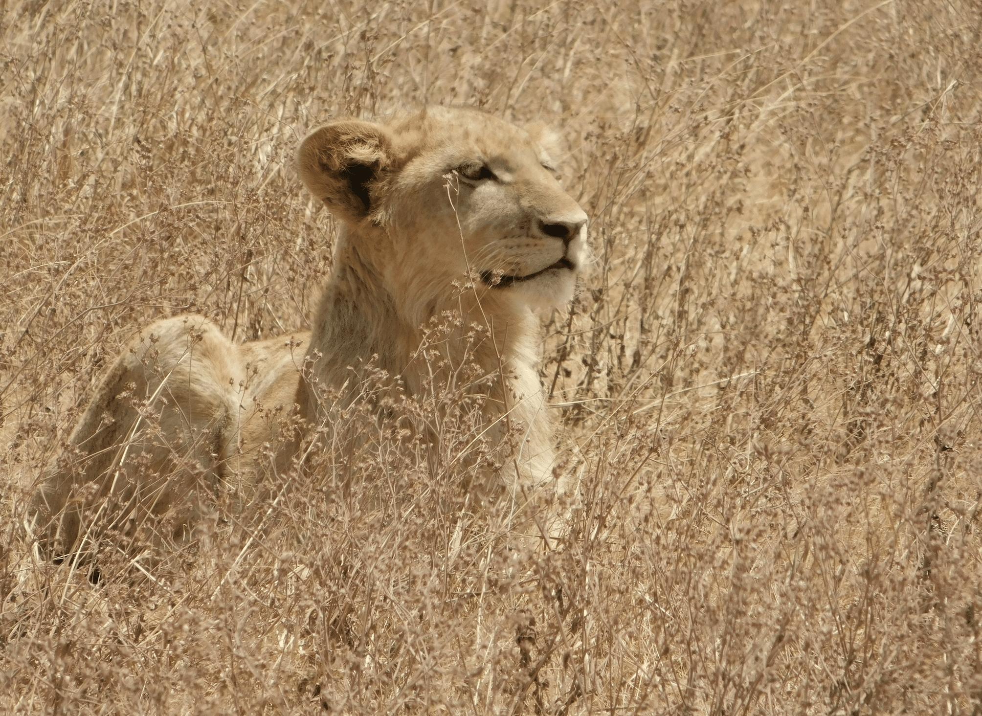 une lionne dans le cratere du ngorongoro
