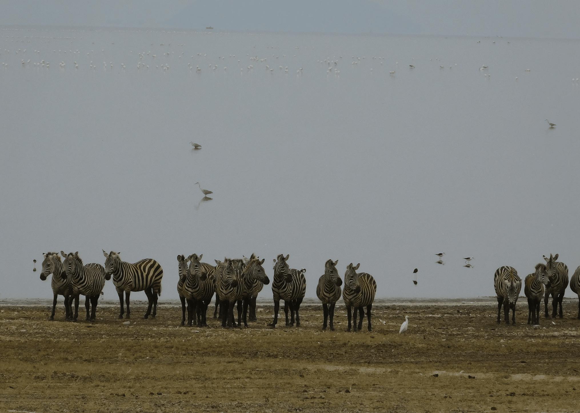 safari en tanzanie : zebres dans le parc du lac manyara