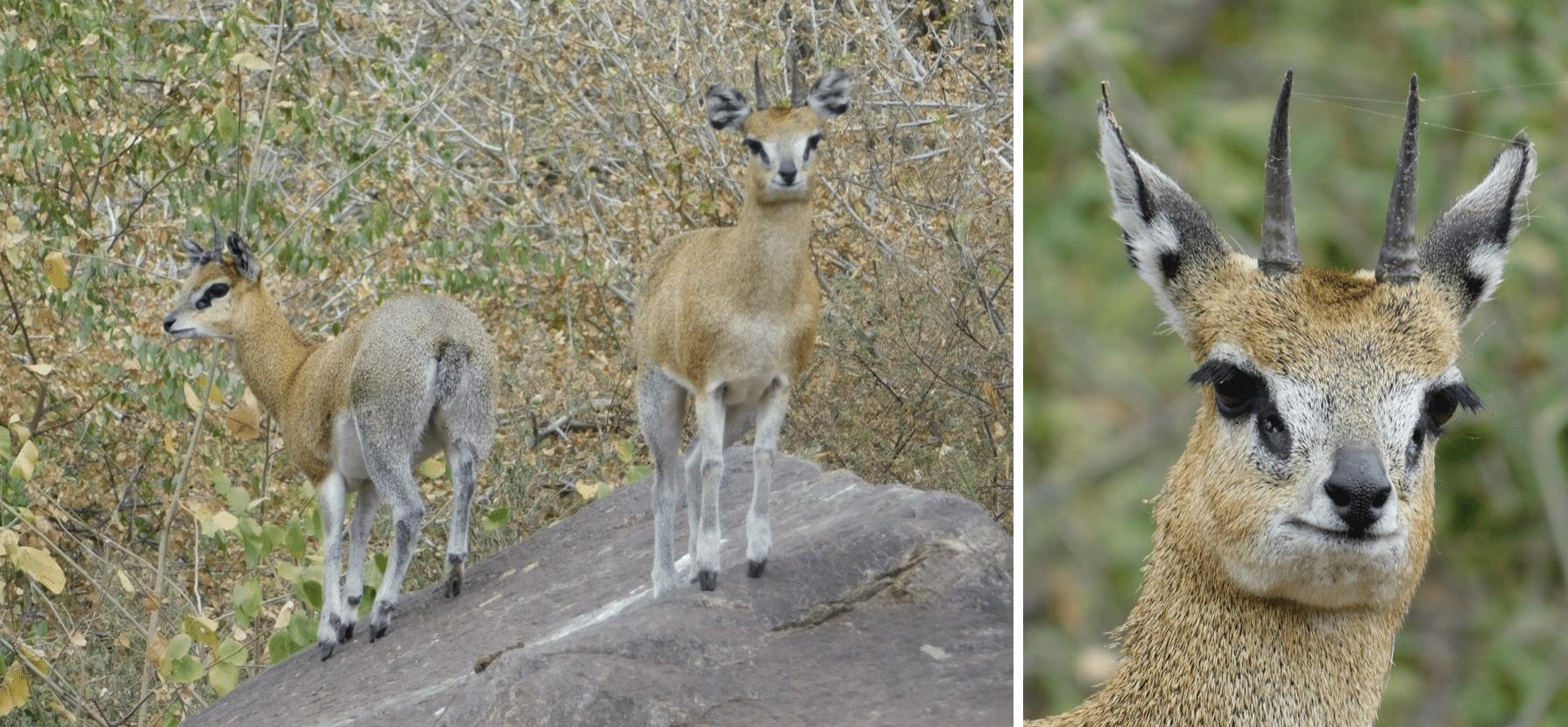 safari en tanzanie : gazelles dans le parc du lac manyara