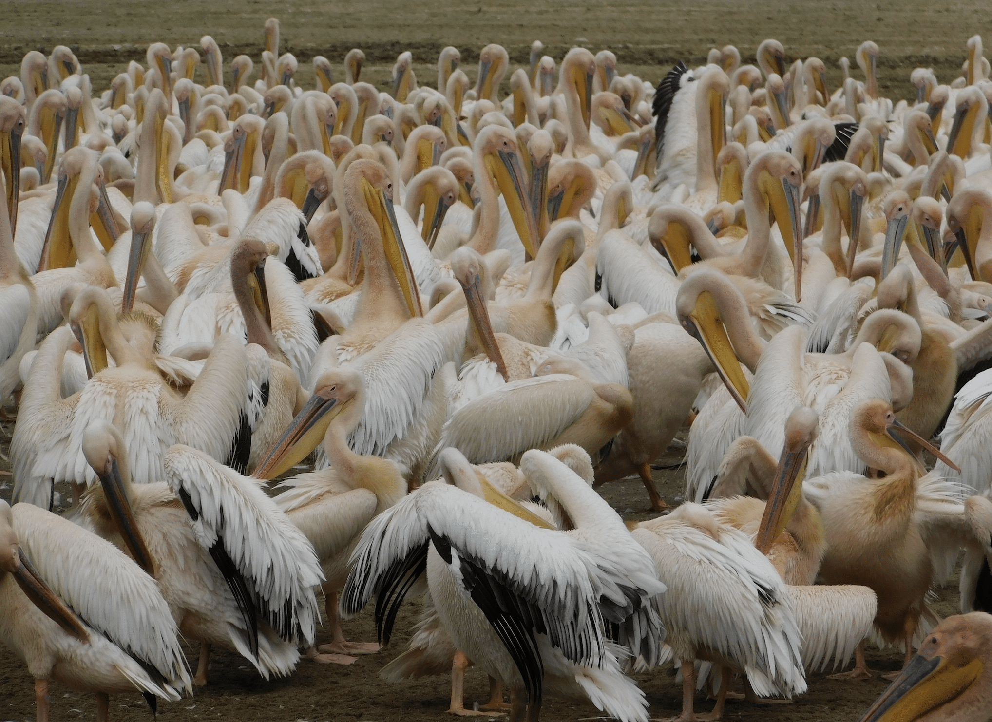safari en tanzanie : pelicans dans le parc du lac manyara