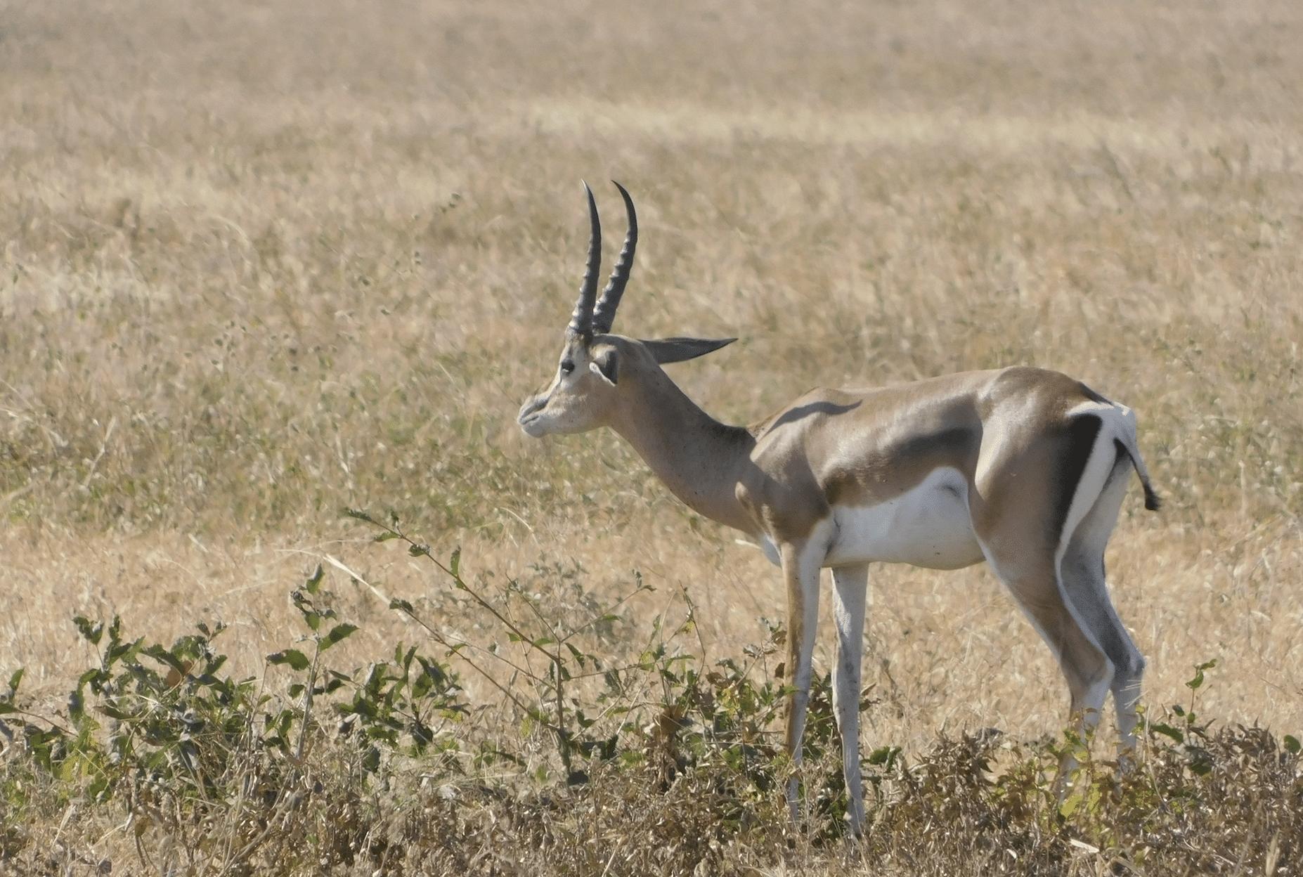 une antilope dans le parc de tarangire
